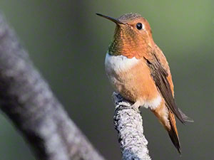 A Rufous Hummingbird perches with his rusty orange gorget and visible