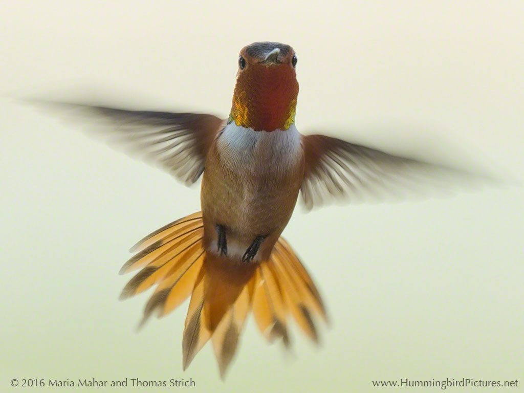 A male Rufous Hummingbird shows his bright orange gorget as he hovers on a pale background
