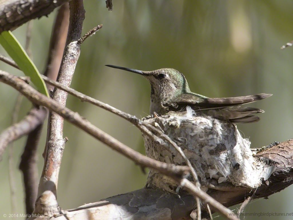 Picture of a hummingbird from the side as she sits her nest in a eucalyptus tree