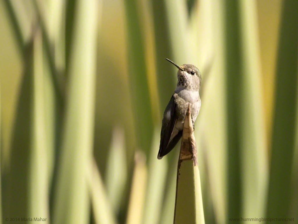 An Anna's Hummingbird perches on the sharp point of an agave at the Desert Botanical Garden. The background is a light green of the agave.