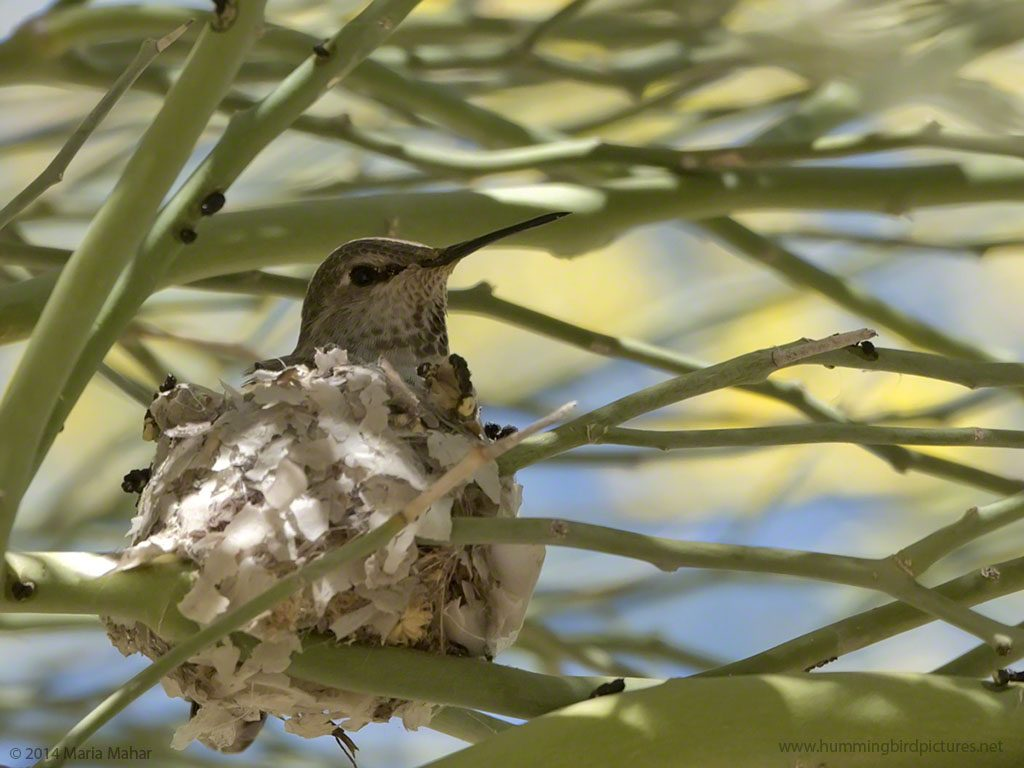 Close up picture of a hummingbird sitting her nest amidst twigs at the Desert Botanical Garden