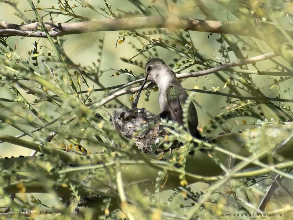 Picture of a hummingbird feeding her baby amidst a tangle of twigs