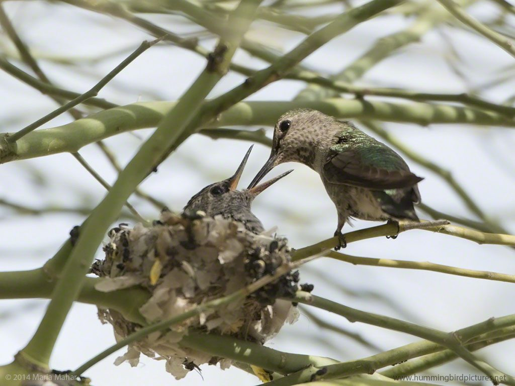Picture of a hummingbird baby with its beak wide open and its mother feeding it while perched on a twig.
