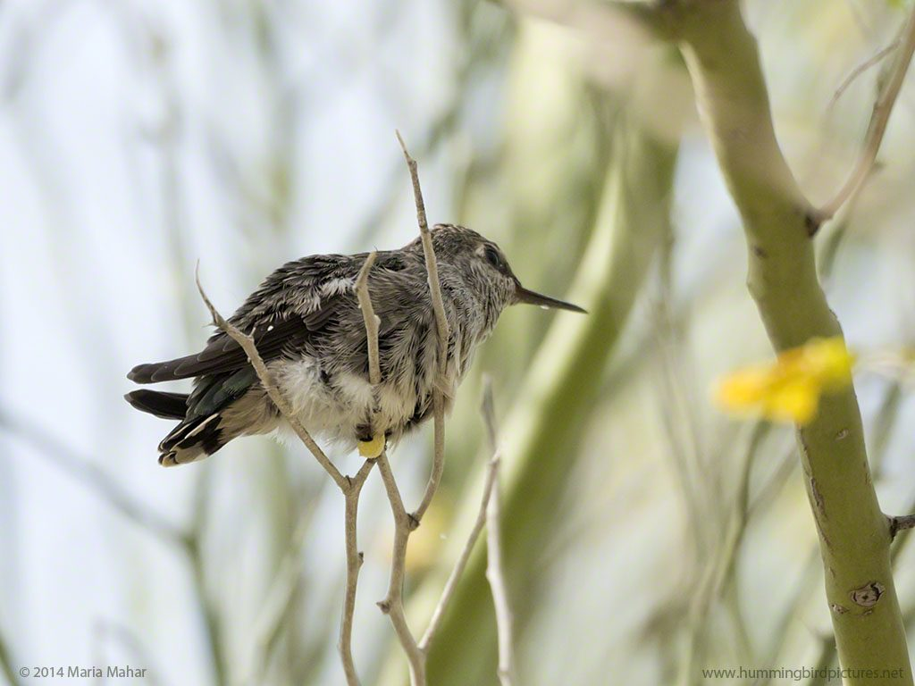 Picture from below and to the side of a fledgling hummingbird perches on a small twig