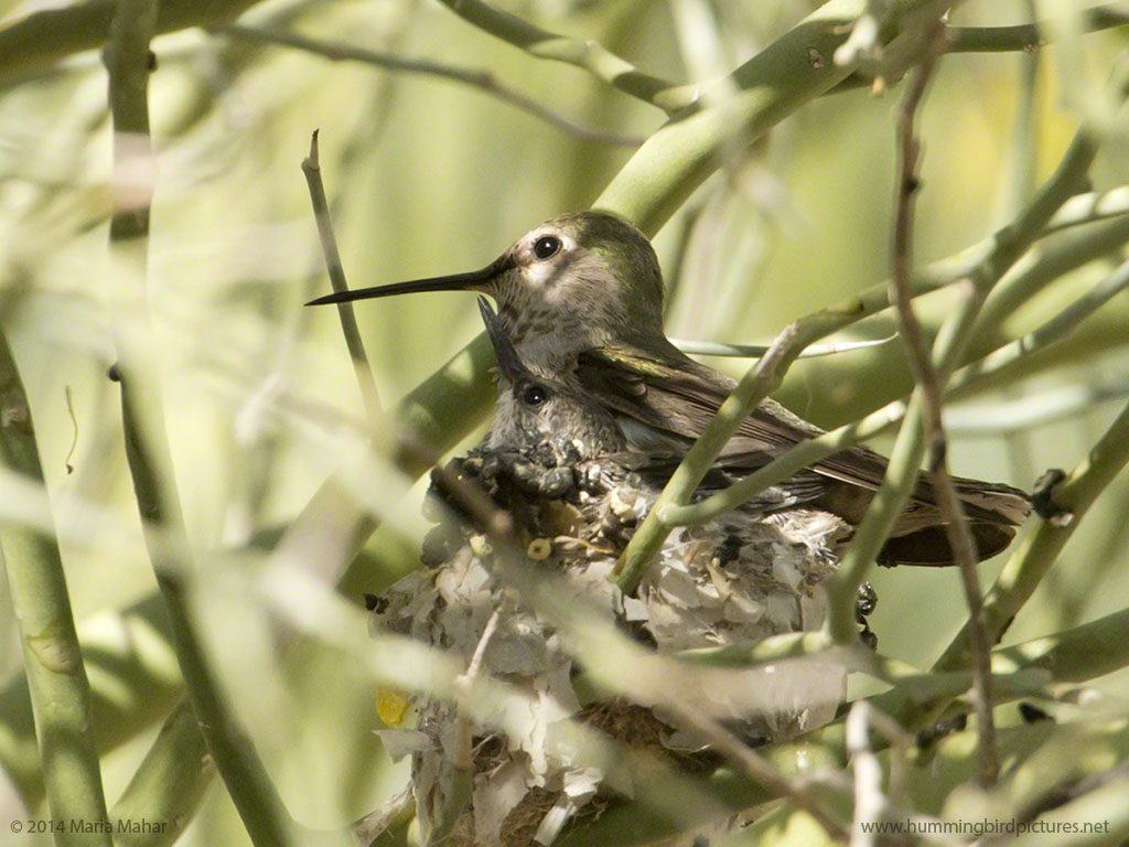 Picture of a hummingbird baby in the nest looks up toward its mother as she perches on the nest