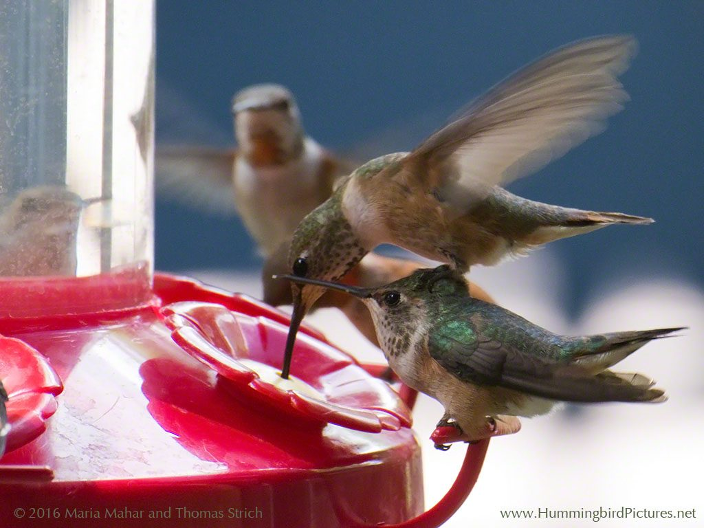 Hummingbird can't wait for its turn at the feeder and balances on the head of another bird to reach a port