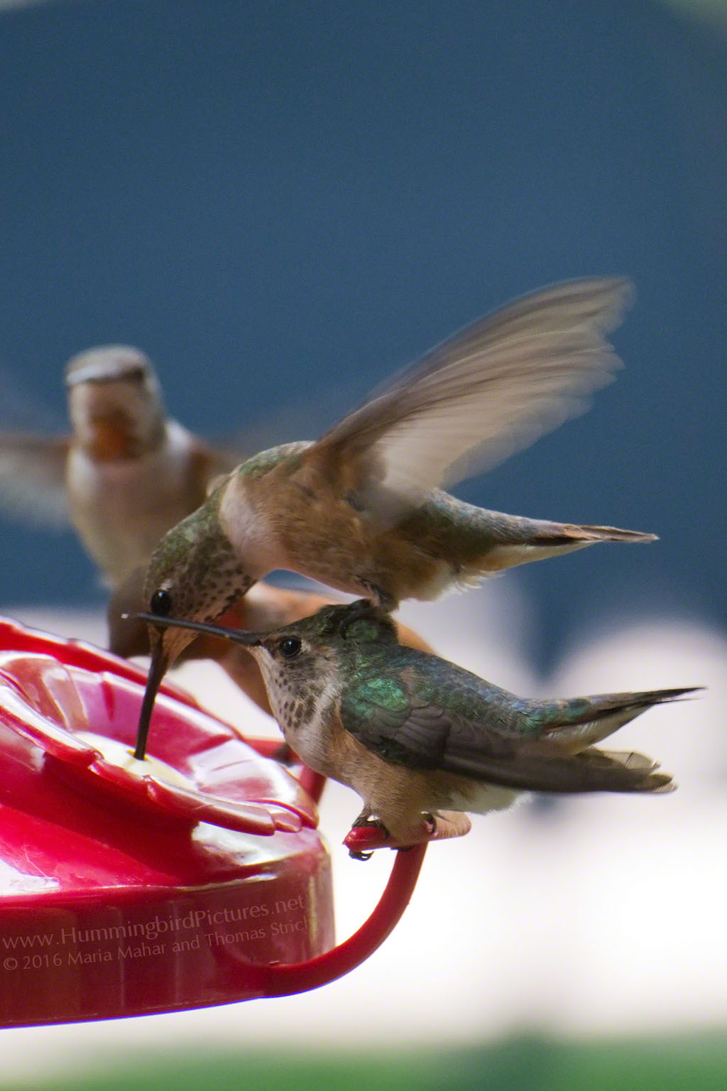 A perched hummingbird crouches while a hovering hummingbird balances on its head to reach the feeder