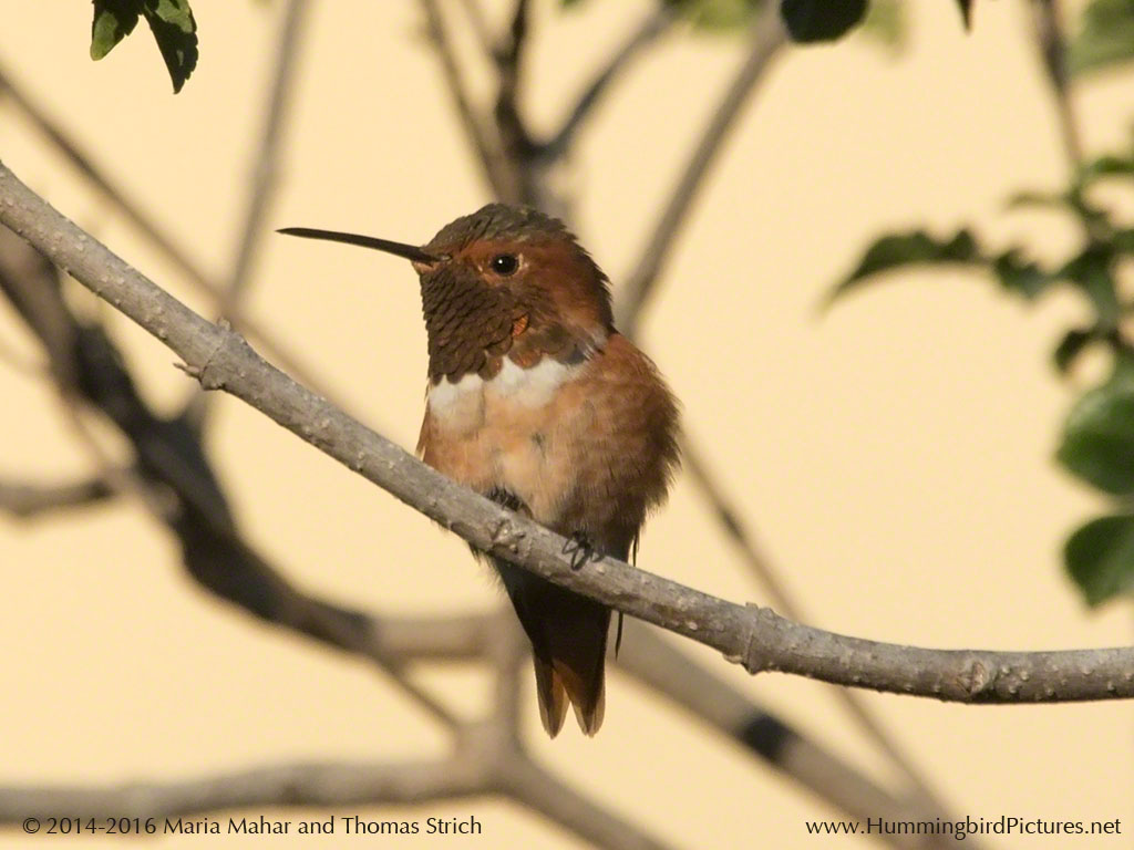 A male Allen's Hummingbird sits on a perch, looking to the side