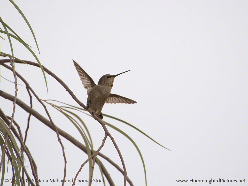 Hummingbird ready to take off