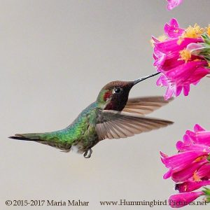 Compare Your Hummingbird Coloring Pages to the Original Photos