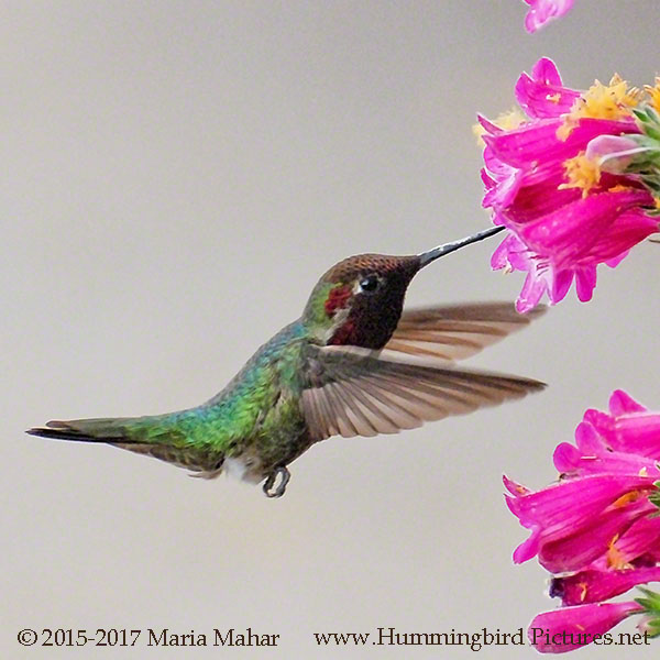 Compare Your Hummingbird Coloring Pages to the Original Photos ...