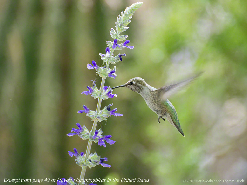 Excerpt from the interactive hummingbird, this photo shows a hummingbird at a stalk of small purple flowers