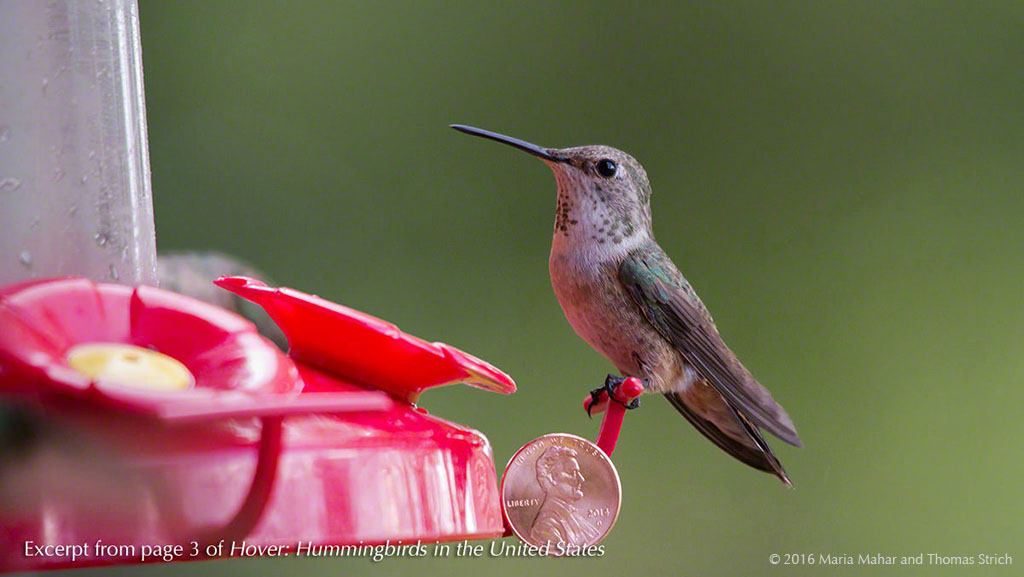 A hummingbird perches ona feeder with a penny taped on the feeder perch for size comparison