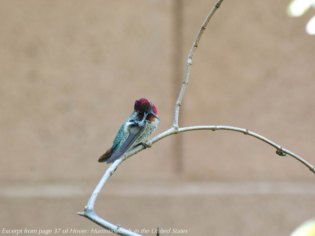 A hummingbird perches on a twig, holding on with one foot while it scratches its bill with the other foot